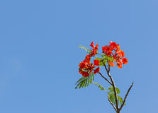 Flame tree blossom Stock Photo