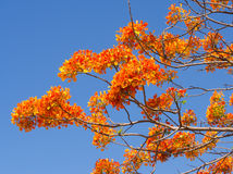 Flame Tree branch with flowers Stock Photos