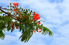 Flame tree branch. Stock Photos