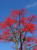 Flame Tree Stock Images