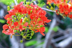 The Flame Tree Royalty Free Stock Images