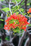 The Flame Tree Royalty Free Stock Image