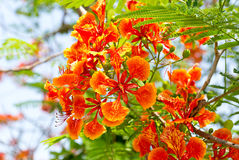 The Flame Tree Stock Images