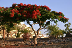 Flame tree(Flamboyant). Royalty Free Stock Photography