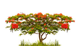 Flame tree of Flamboyant (delonix regia) isolated on white Royalty Free Stock Photography