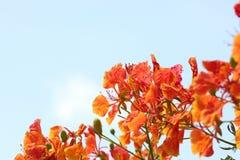 Flame Tree Flower. Stock Photos