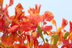 Flame Tree Flower. Stock Image