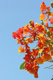 Flame Tree Flower. Royalty Free Stock Image