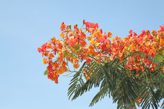 Flame Tree Flower. Stock Photo