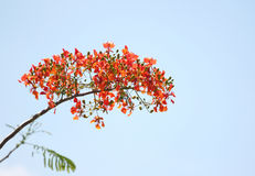 Flame Tree Flower. Royalty Free Stock Photography