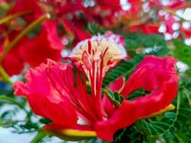 Flame tree flower, Delonix regia. Close-up view of a beautiful red tropical flower royalty free stock photo