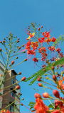 Flame tree flower. Flame tree flower in front of building & blue sky Royalty Free Stock Images