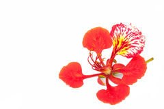 Flame tree flower isolated Royalty Free Stock Image