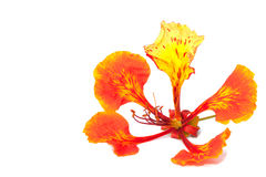 Flame tree flower isolated Royalty Free Stock Photos