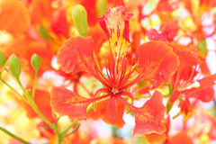 Flame Tree Flower. Stock Photography