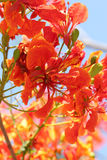Flame Tree Flower. Royalty Free Stock Images
