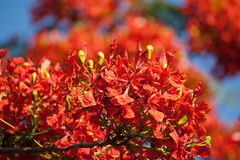 Flame Tree flower, Royal Poinciana flowe Stock Images