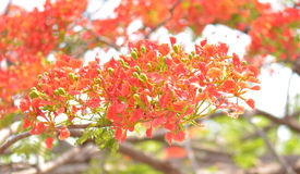Flame Tree Flower - Royal Poinciana Tree Stock Photo