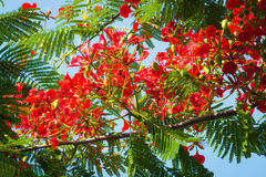 Flame Tree Flower - Royal Poinciana Tree Royalty Free Stock Image