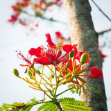 Flame Tree Flower - Royal Poinciana Tree Stock Photography
