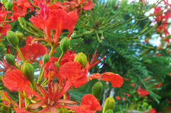 Flame tree flowers Stock Image