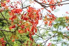 Flame tree flowers Stock Photos