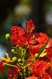 Flame tree flowers. Or Royal Poinciana  in sunlight Stock Photo
