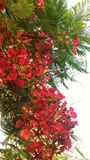 Flame tree. Flowers during the summer Royalty Free Stock Images