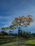 The Flame Tree. Stock Photo