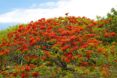 Flame Tree. With lots of blooms Royalty Free Stock Photography