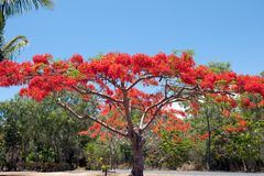 Flame Tree in Australia royalty free stock photo