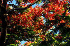 Flame tree from Mauritius Stock Image