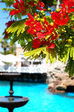 Flame tree with red flowers (Delonix regia) near swimming pool Stock Image