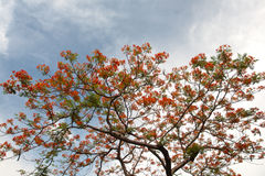 The Flame Tree or Royal Poinciana on blue sky Stock Photo