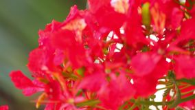 Flame Trees Vibrant Red Flowers HD Stock Footage. Flame tree, royal poinciana, delonix regia from the fabaceae family, with its vibrant red flowers, panoramic stock video footage