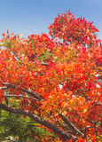 Flame tree Stock Photography