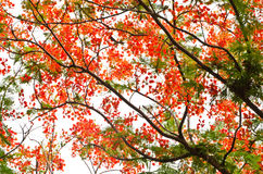 Flame Tree or Royal Poinciana Tree Stock Photography