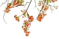Flame Tree or Royal Poinciana Tree Royalty Free Stock Images