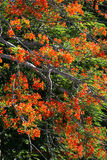 The Flame Tree. the tree of auspicious. Stock Photo