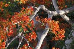 The Flame Tree. the tree of auspicious. Stock Photos