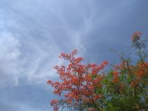 The flame tree under the cloudy sky. Flame tree under cloudy sky royalty free stock images