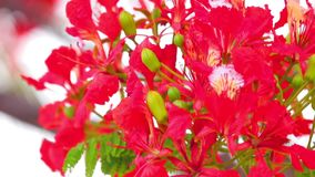 Flame Trees Vibrant Red Flowers HD Stock Footage. Flame tree, royal poinciana, delonix regia from the fabaceae family, with its vibrant red flowers, panoramic stock footage