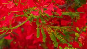 Flame Trees Vibrant Red Flowers HD Stock Footage. Flame tree, royal poinciana, delonix regia from the fabaceae family, with its vibrant red flowers, panoramic stock video