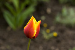 Flame tulip Royalty Free Stock Image