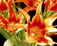 Flame tulips Stock Photos