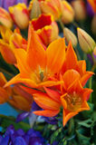 Flame Tulips Royalty Free Stock Photos