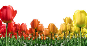 Flame Tulips Border Royalty Free Stock Photos