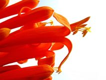 Flame vine Royalty Free Stock Image