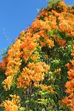 Flame Vine or Pyrostegia venusta Stock Photo