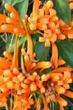 Flame Vine or Pyrostegia venusta Stock Photos